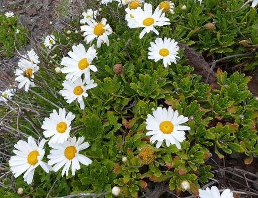image de marguerite arbustive, anthémis de Madère