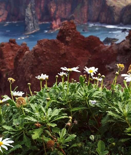 Image de marguerite arbustive, ou anthémis
