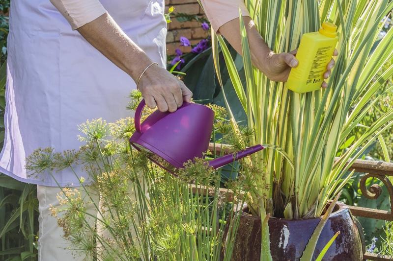 Photo de femme donnant de l'engrais à un phormium panaché poussant en pot, en été