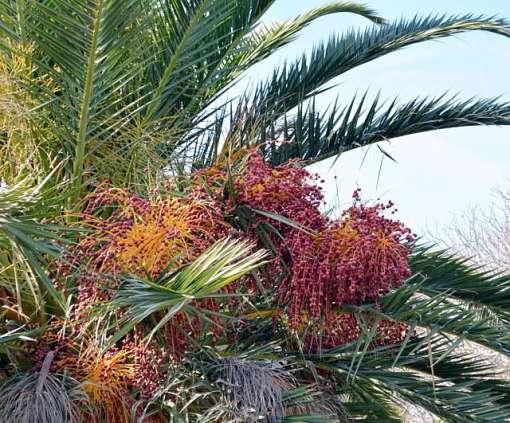 Phoenix porphyrocarpa