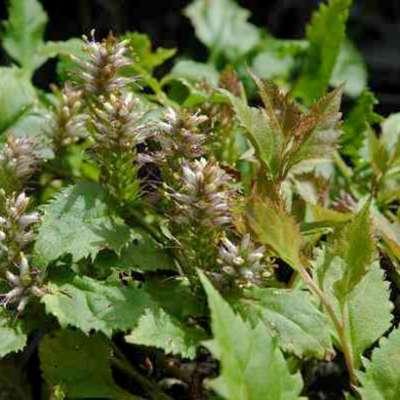 Image de veronicastrum latifolium