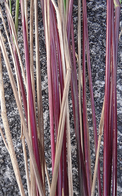 Hierochloe redolens, herbe à bison d'Australie