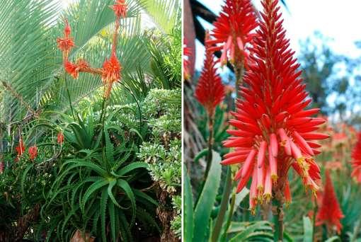Photo d'Aloe scorpioides