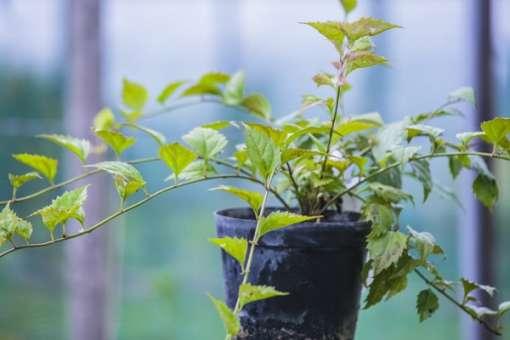 Photo de plant de veronicastrum latifolium