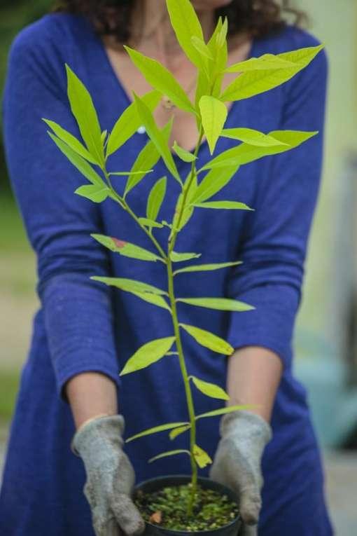 Plant de Persea borbonia