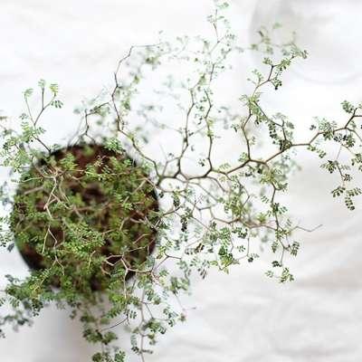 Détail des rameaux de Sophora prostrata vu en intérieur