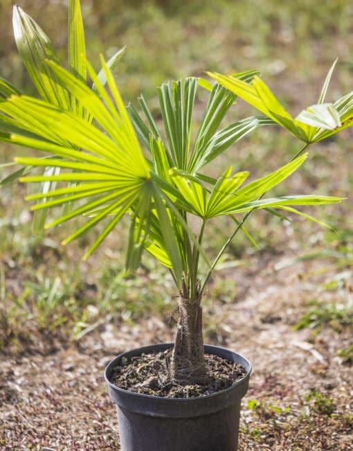 Trachycarpus Yéti en pot de notre production