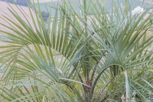 Jeune palmier Butia