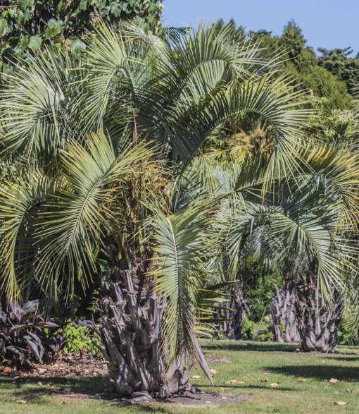 Palmier Butia adulte dans un jardin