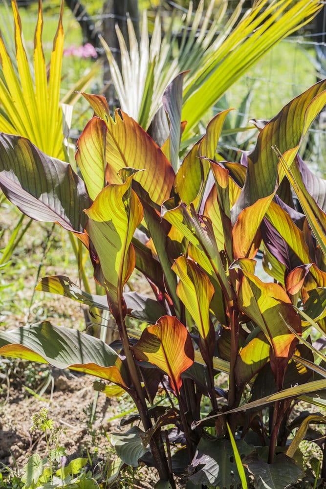 Canna Red Striped, de la pépinière Palmiers et compagnie