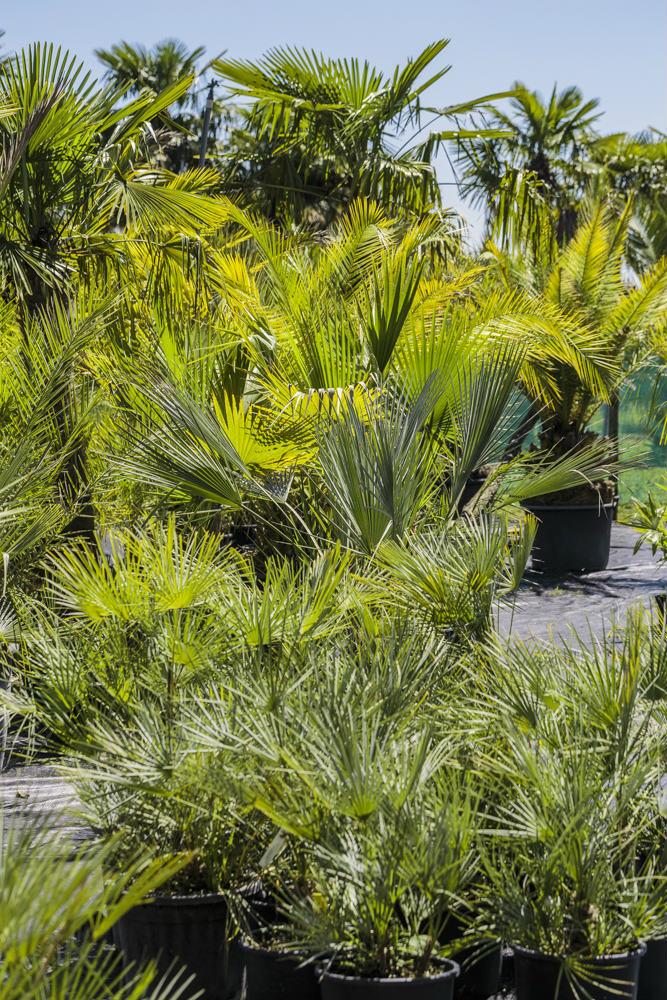 Vue de la pépinière palmiers et Compagnie en France