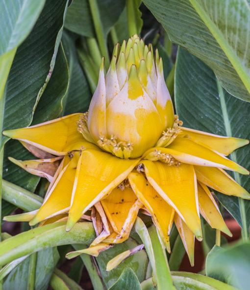 Musella lasiocarpa, le lotus d'or