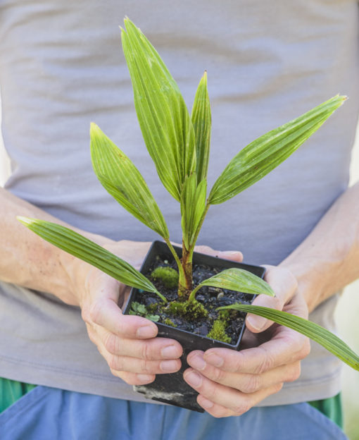 Trachycarpus 'Bulgaria' de notre production