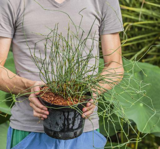 Elegia tectorum, plante mikado