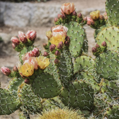 Opuntia phaeacantha major