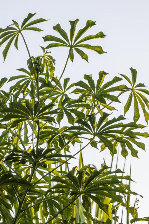Manihot grahamii, manioc rustique