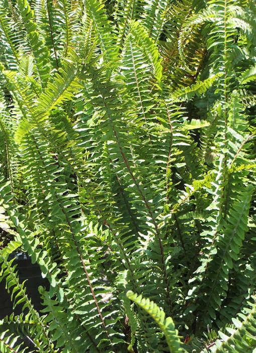 Photo de Nephrolepis cordifolia, une fougère