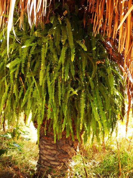 Photo de Nephrolepis cordifolia, une fougère poussant en épiphyte