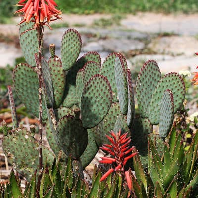 Photo d'Opuntia macrocalyx