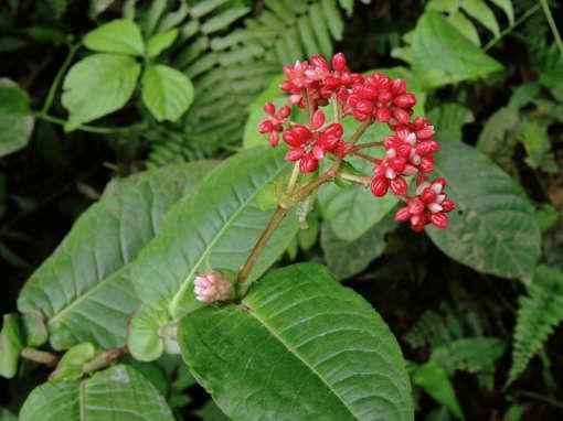 Photo de Polygonum chinense en fleurs