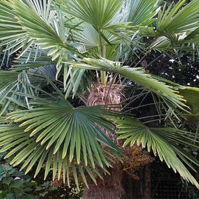 Trachycarpus 'Bulgaria'