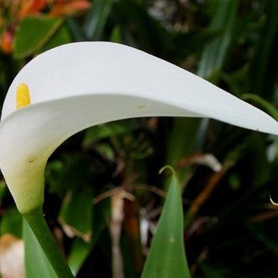 Zantedeschia White Gnome, arum nain