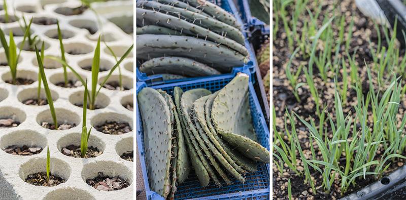 production végétale semis bouture palmiers