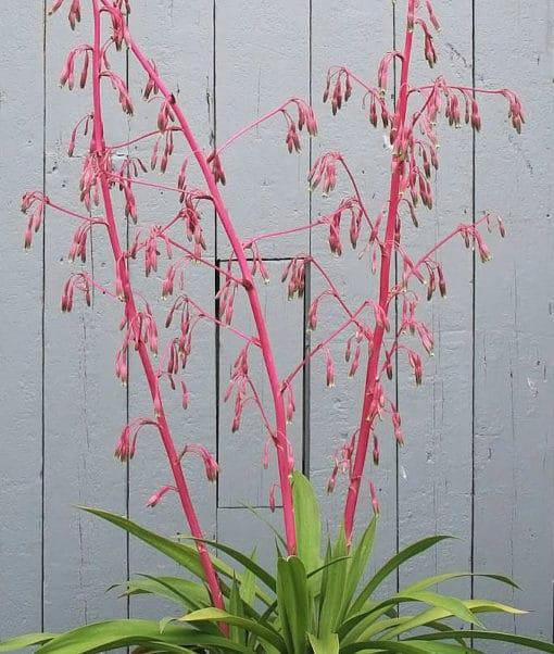 Photo de Beschorneria septentrionalis