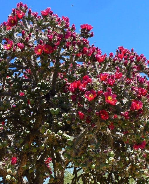 Cylindropuntia imbricata en fleurs