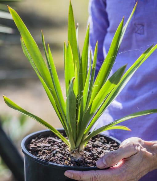 Yucca filamentosa de notre production