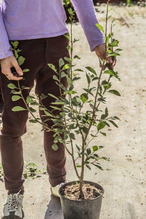 Plant de prune de Saint antonin de notre production