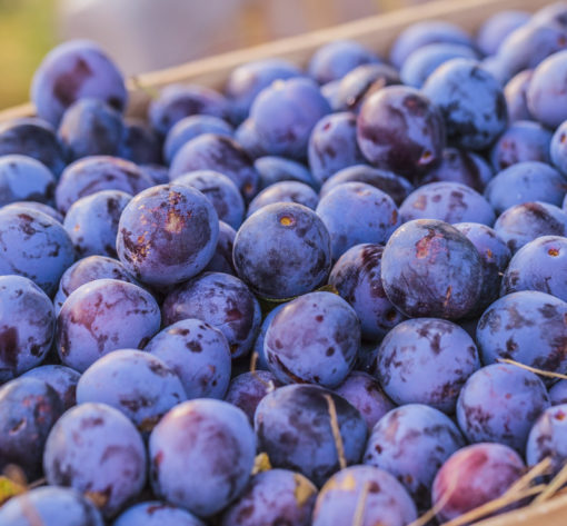 fruits de prune de Saint Antonin
