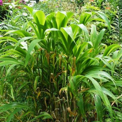 Iris confusa, iris bambou