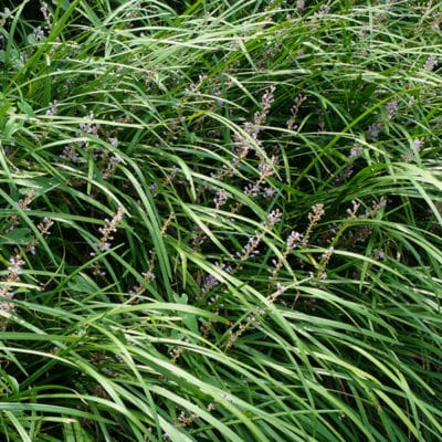 Détail de Liriope spicata, le gazon japonais