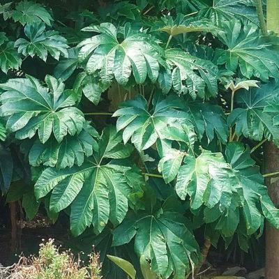 Tetrapanax Rex, alias Steroidal Giant, une plante à grandes feuilles