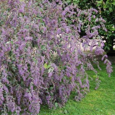Buddléia 'Bel Argent' en fleurs