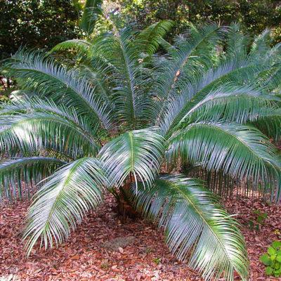 Cycas guizhouensis mature en sous-bois