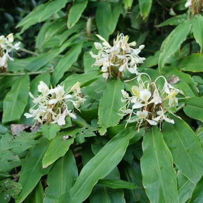 Hedychium flavescens en fleurs