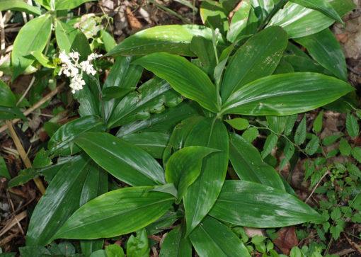 Pollia japonica en sous-bois