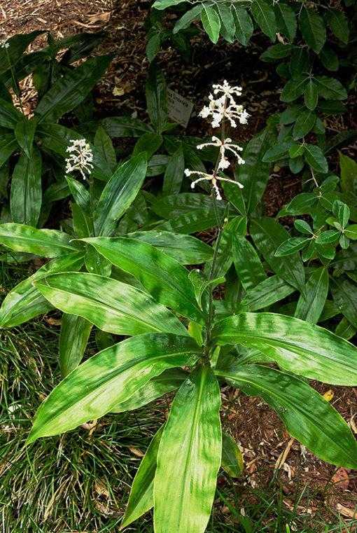 Pollia japonica en fleur