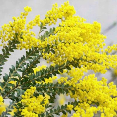 Acacia couteau, Acacia cultriformis