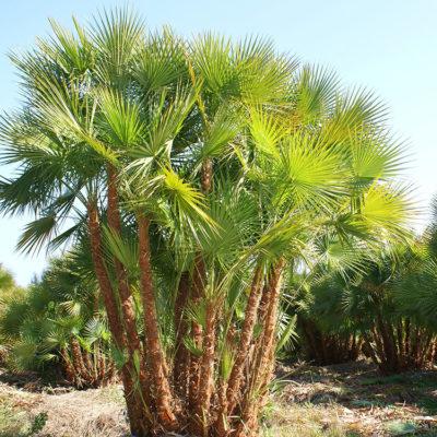 touffe du palmier Acoelorrhaphe wrightii