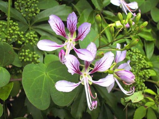 Fleurs de Bauhinia yunnanensis
