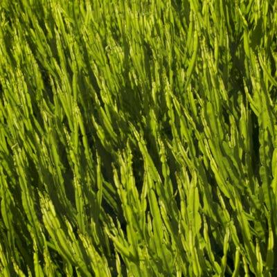 Tiges de la plante algue, Baccharis genistelloides