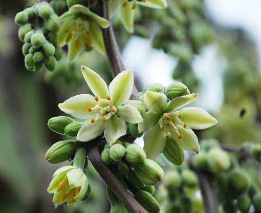 fleur de Furcraea parmentieri