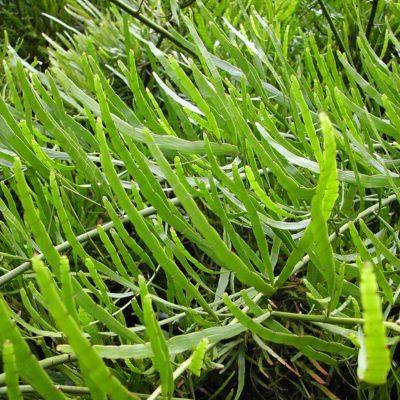 Homalocladium platycladum, plante algue