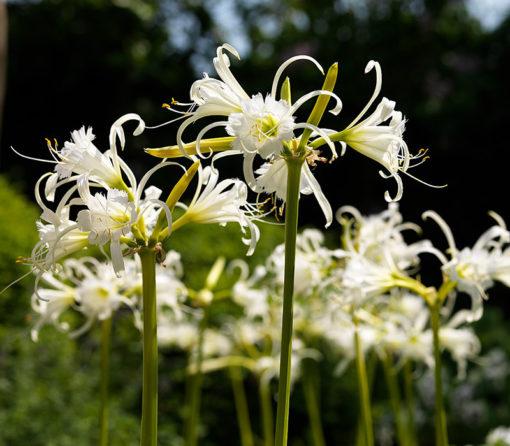 Hymenocallis festalis en fleur