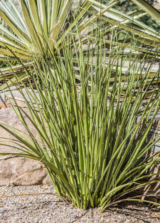 Hesperaloe funifera