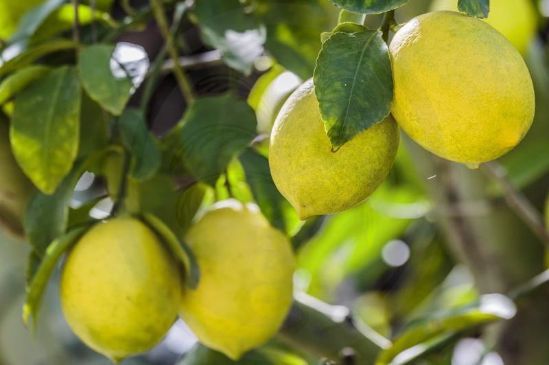 Citrons 'Meyer' sur branche - faire fructifier un agrume