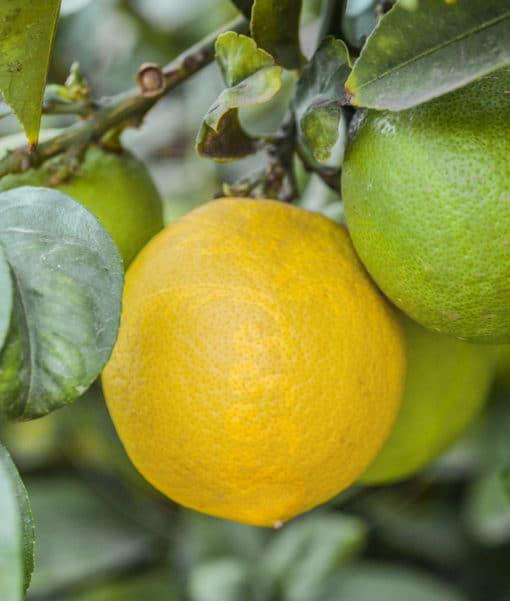 Citron 'Lisbonne'